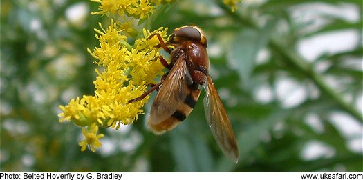 Belted Hoverfly © Copyright 2005 G. Bradley