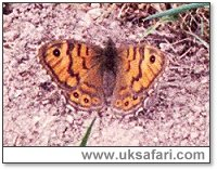 Wall Butterfly - Photo � Copyright 2003 Gary Bradley
