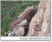 Wall Lizard - Photo � Copyright 2003 Gary Bradley