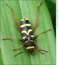 Wasp Beetle - Photo � Copyright 2008 Isabel Clark
