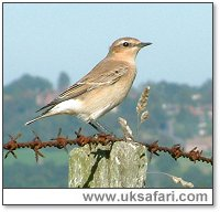 Wheatear - Photo � Copyright 2004 Gary Bradley