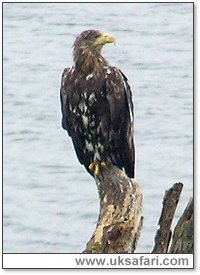 White-Tailed Eagle - Photo � Copyright 2005 Kevin Allison