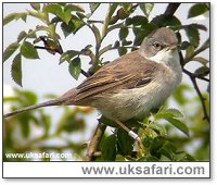 Whitethroat - Photo � Copyright 2002 Richard Ford