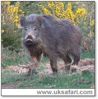 Wild Boar - Photo � Copyright 2006 Malcolm Mitchell