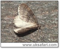 Winter Moth - Photo � Copyright 2000 Gary Bradley