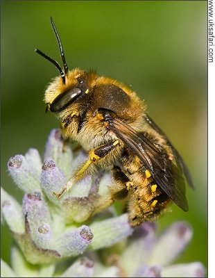 Wool Carder Bee - Photo � Copyright 2008 Mike Walker