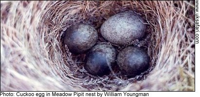 Cuckoo egg in a Meadow Pipit nest - Photo © Copyright 2009 William Youngman