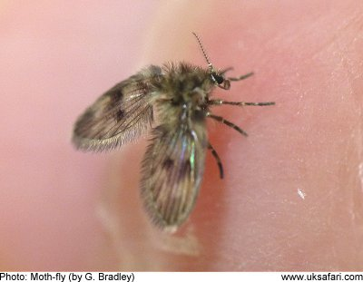 moth flies drain flies owl midges psychodidae uk safari. Black Bedroom Furniture Sets. Home Design Ideas