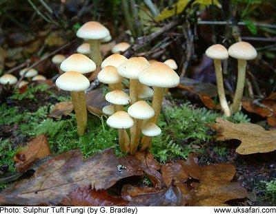 Sulphur Tuft Fungi - Hypholoma fasciculare - UK Safari