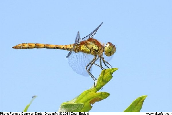 photo of a female Common Darter Dragonfly