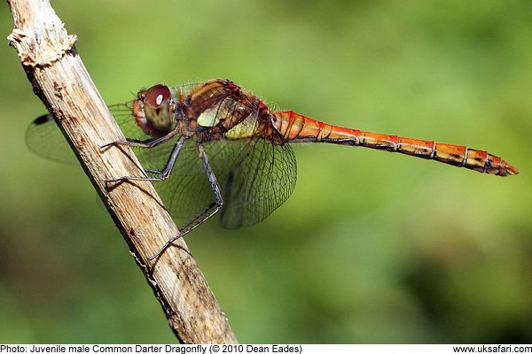 photo of a juvenile Common Darter Dragonfly