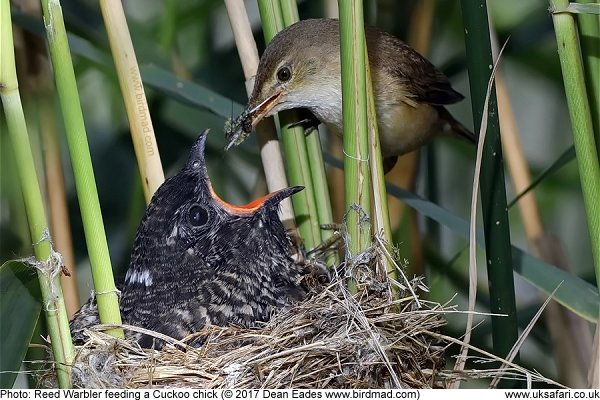 Reed WArbler feeding a Cuckoo chick