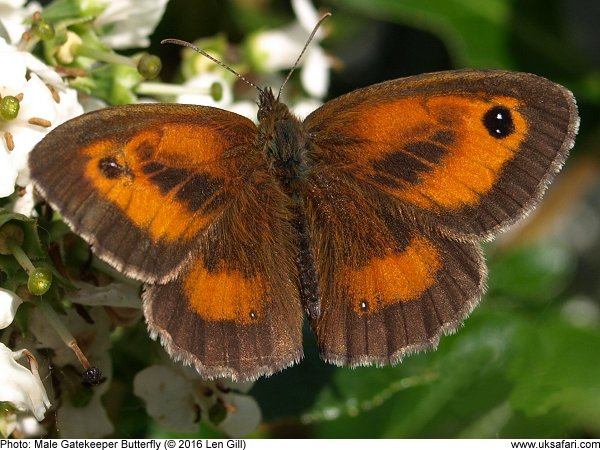 Male Gatekeeper Butterfly
