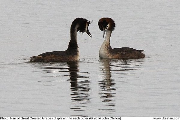 Great Crested Grebe showing off their head crest feathers
