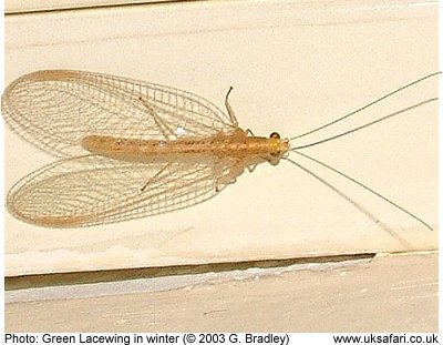 Pink Lacewing
