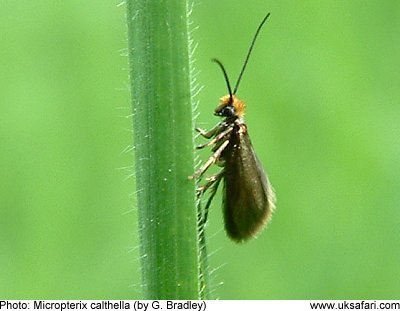 Micropterix
