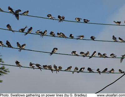 Swallows gathered on power lines