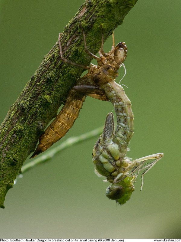 Dragonfly emerging from pupal casing by Ben Lee