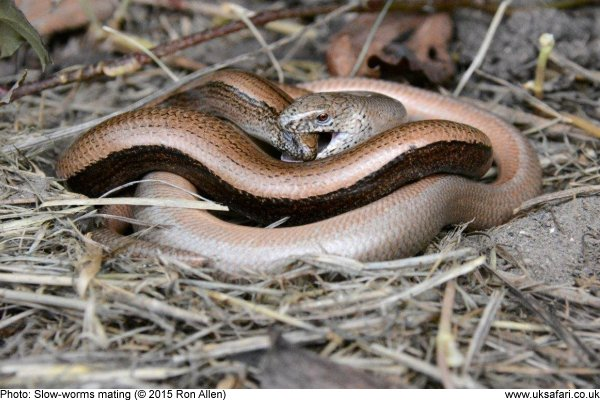 mating slow-worms