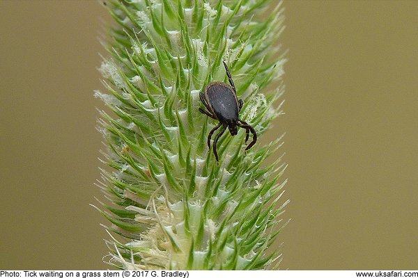 Tick on a grass stem by G. Bradley