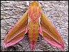 Large Elephant Hawk-moth